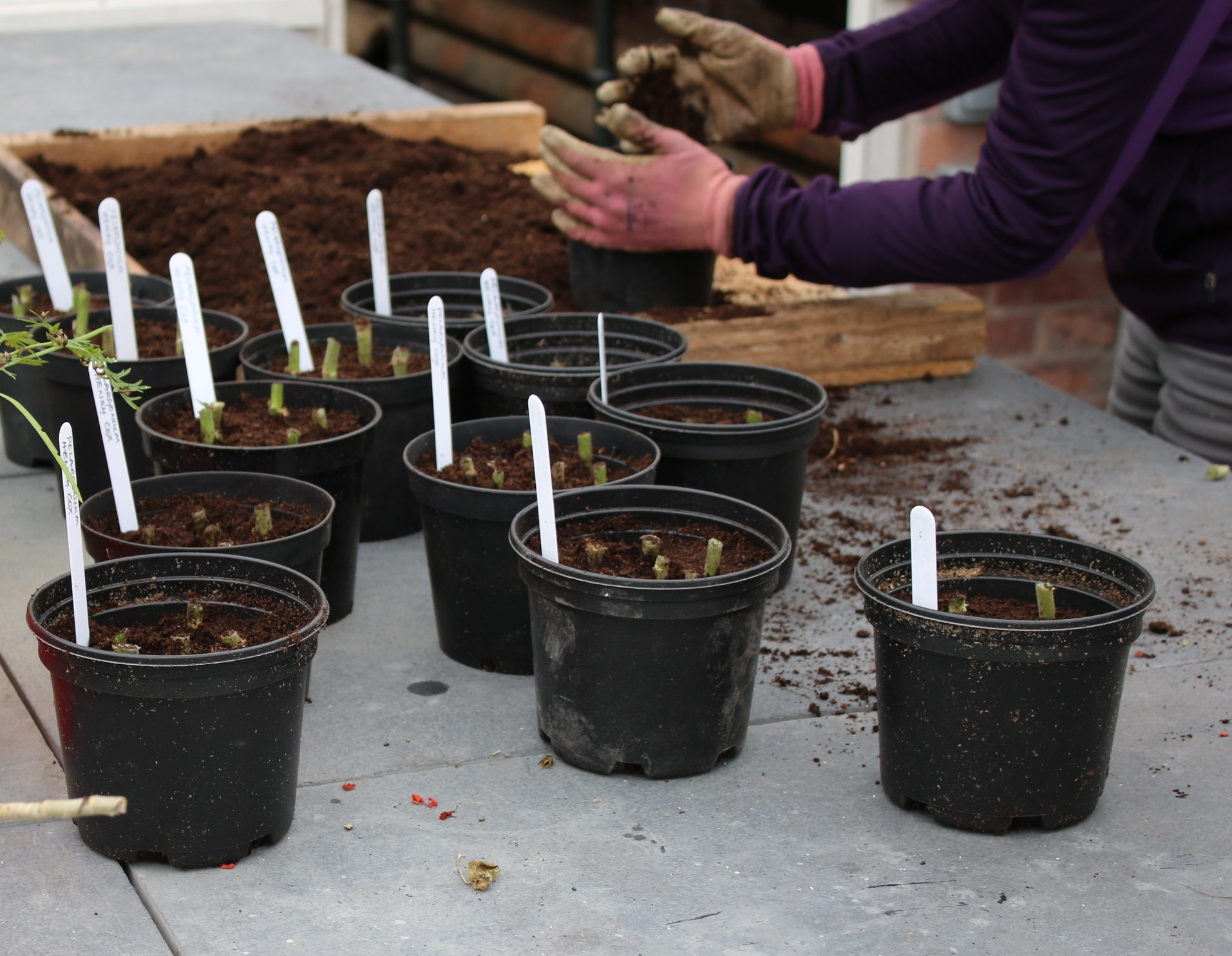 Potting and labeling the cuttings