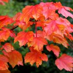 October Glory – Acer rubrum