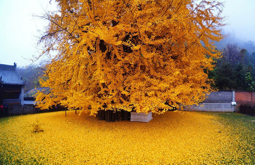 1.400 year old Ginkgo Biloba Tree in China.