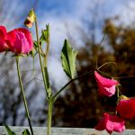 Gabriella's Choice -The Sweet Pea
