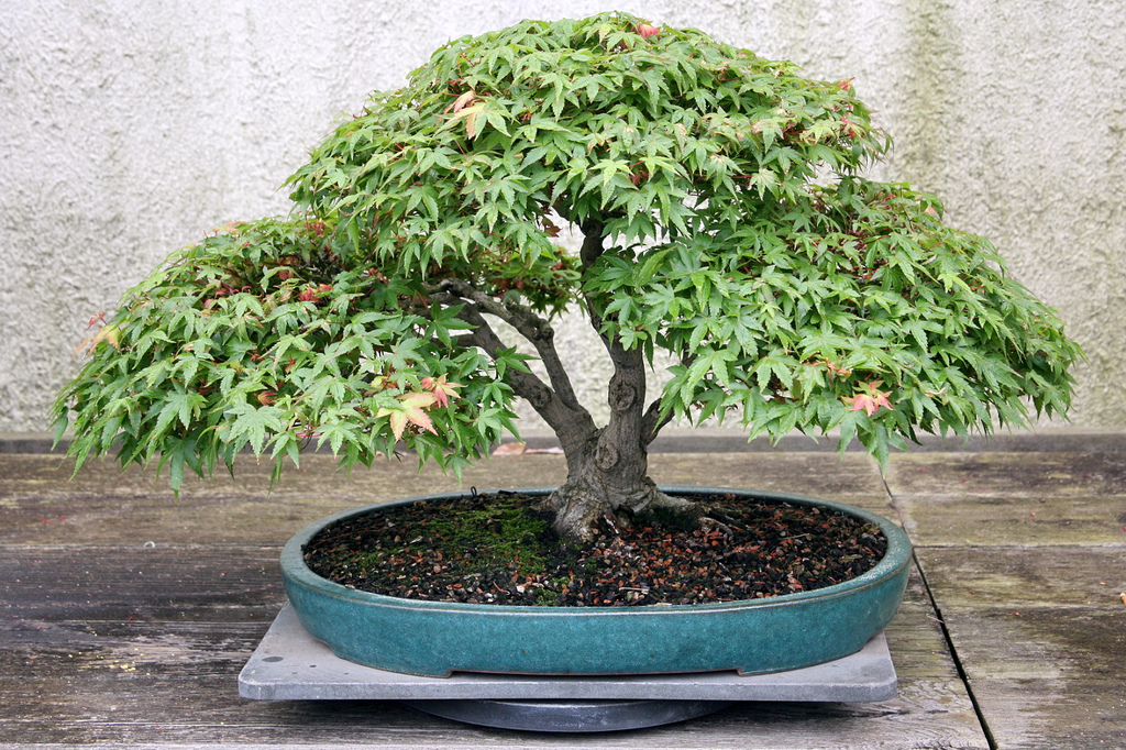 bonsai-acer-palmatum-ebonsai-blog