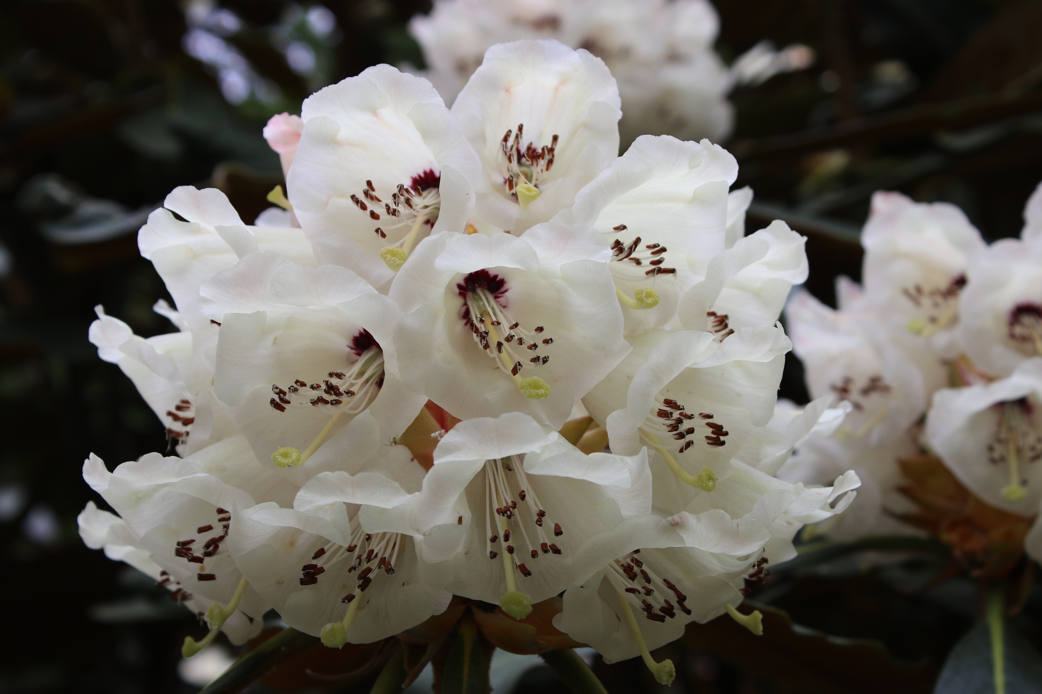 Plant Fair and Rhodedendron 044