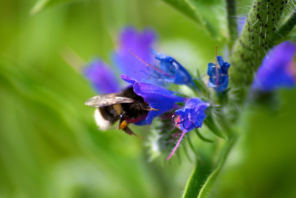 A bee harvests Echium vulgare