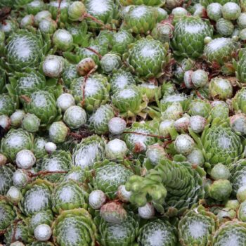 Sempervivum arachnoideum – Catherine's choice