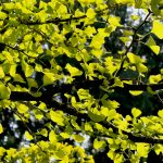 Anything Kew can do…..Ginkgo Biloba – yin xing 銀杏