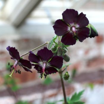 "Geranium ""Black Widow"""